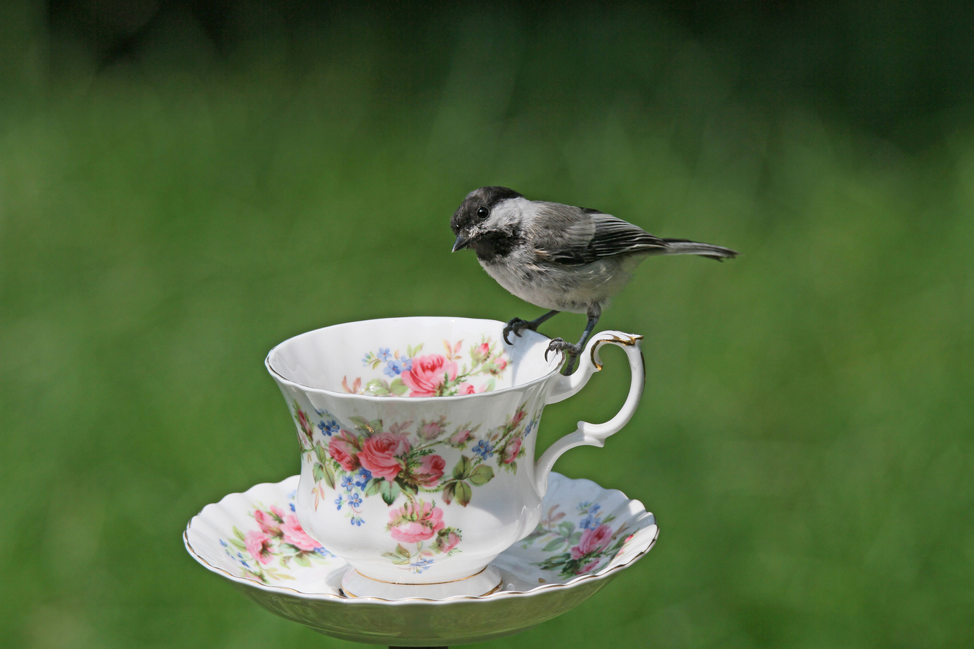 Chickadee at Teacup #28