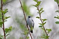 Blue Gray Gnatcatcher #19