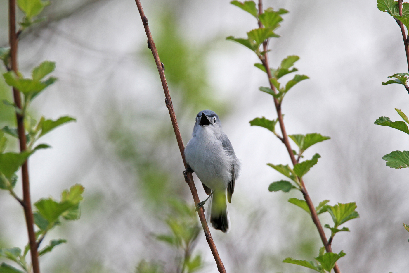 Blue Gray Gnatcatcher #19