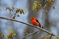 Scarlet Tanager #12