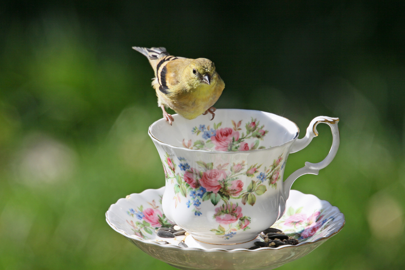 Goldfinch at Teacup