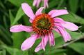 Echinacea - Cone Flower #9