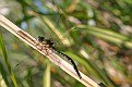 Shadow Darner Dragonfly 3