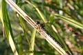 Shadow Darner Dragonfly 6