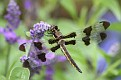 Twelve-spotted Skimmer on Flowers #2