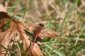 White Faced Meadowhawk Dragonfly