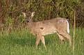 Spring White-tailed Deer