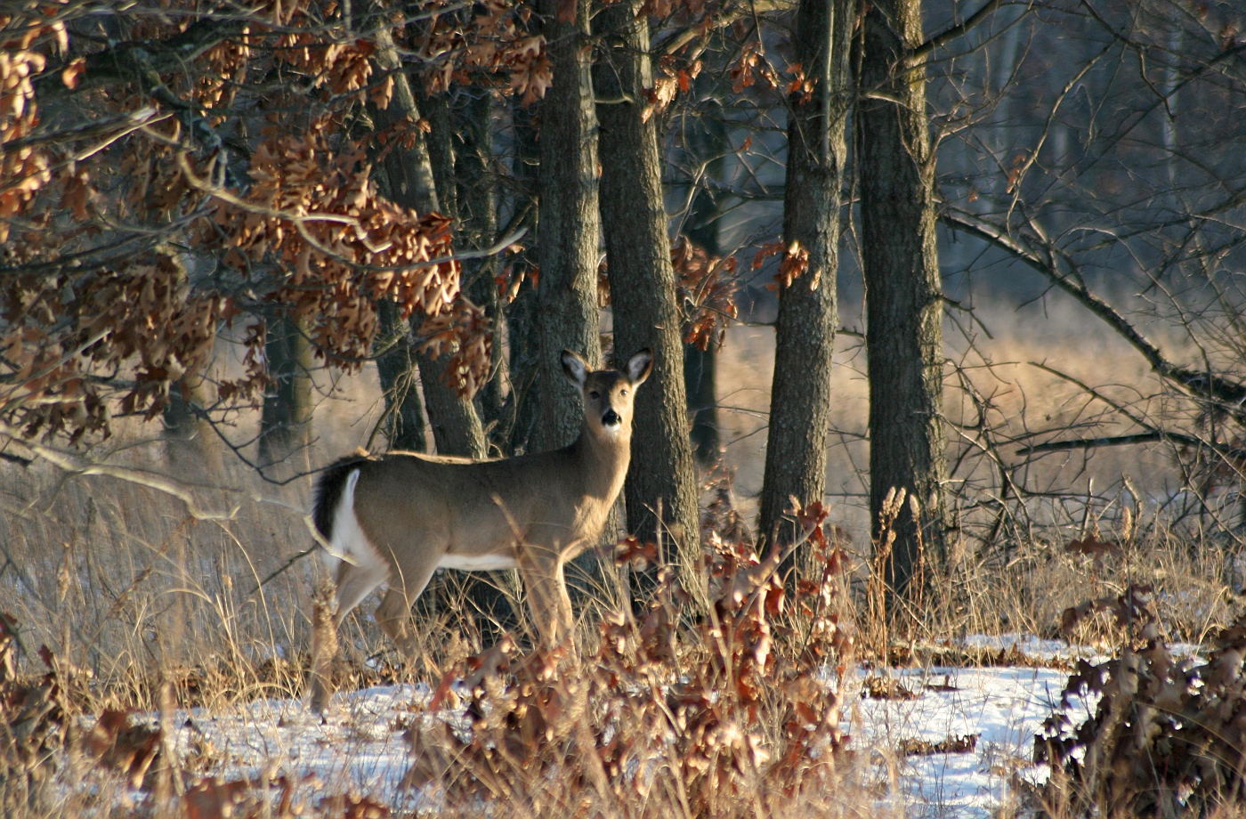 Winter Afternoon White Tailed Deer