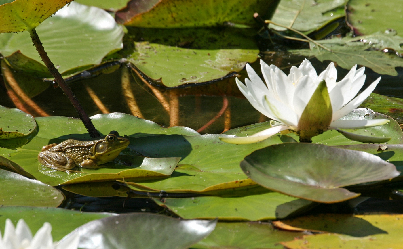 Lily Pad Frogs