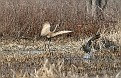 Sandhill Crane Altercation #2