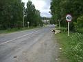 Rindviecher an der Straße