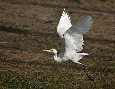 DSC1854 b Вайкал. Цейлон. Египетская цапля. Baikal. Ceylon. Cattle Egret.