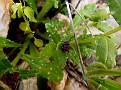 Anchusa variegata (12)