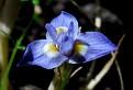 Moraea mediterranea, syn  Gynandriris monophylla (3)