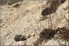 Limonium heraionense