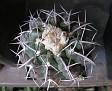 Discocactus heptacanthus (2)