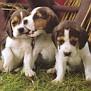 beagle-pups