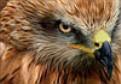 aAn Hawk