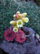 Jovibarba, on the rock in flower