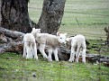 Lambs playing on Yarras Lane Bathurst 004