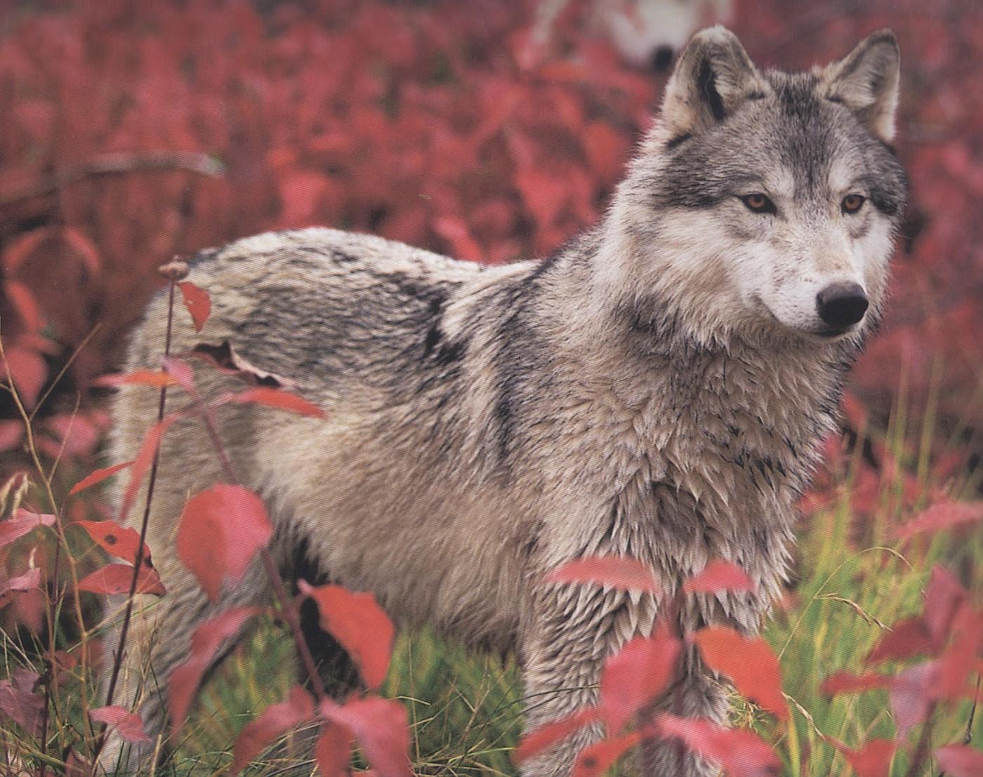 11 - Gray WolfLight Brown Female Wolf