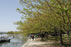 Nat'l Cherry Blossom Tidal Basin 2016 001