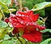 """Rose """"Bicolette"""""""