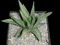 Haworthia margaretifera variegata