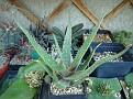 Aloe 'Derek Bowdery'