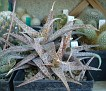 Aloe rauhii