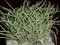 Aloe bowiea