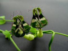 Ceropegia denticulata ssp. brownii
