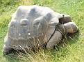 Geochelone nigra  Galapagos schildpad
