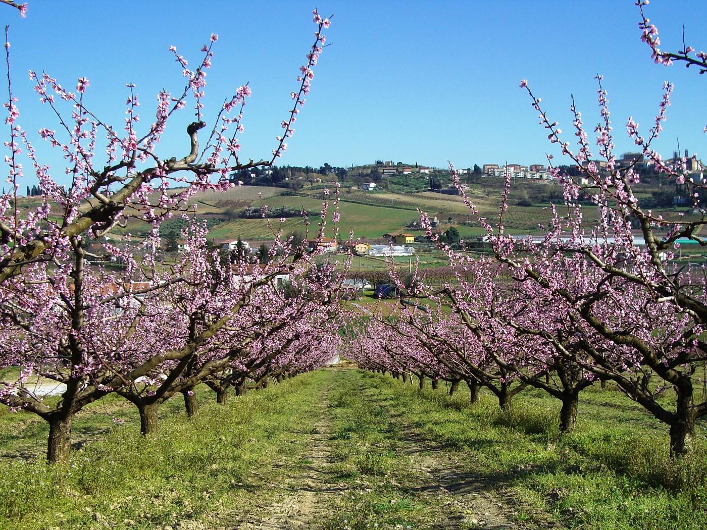 Alberi di pesche in Bulgarno (peach trees)