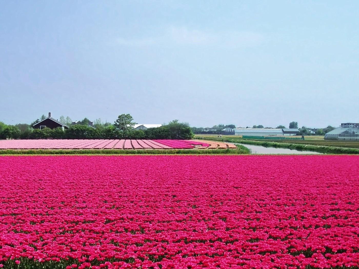 Tulip fields in Noordwijkerhout