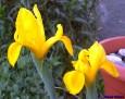 Iris hollandica 'Golden Yellow'