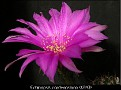 Echinopsis cardenasiana (0393)