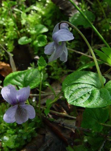 Viola epipsila - Marsh Violet