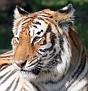 tigersmile1.jpg