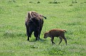 Bison and Calf #18