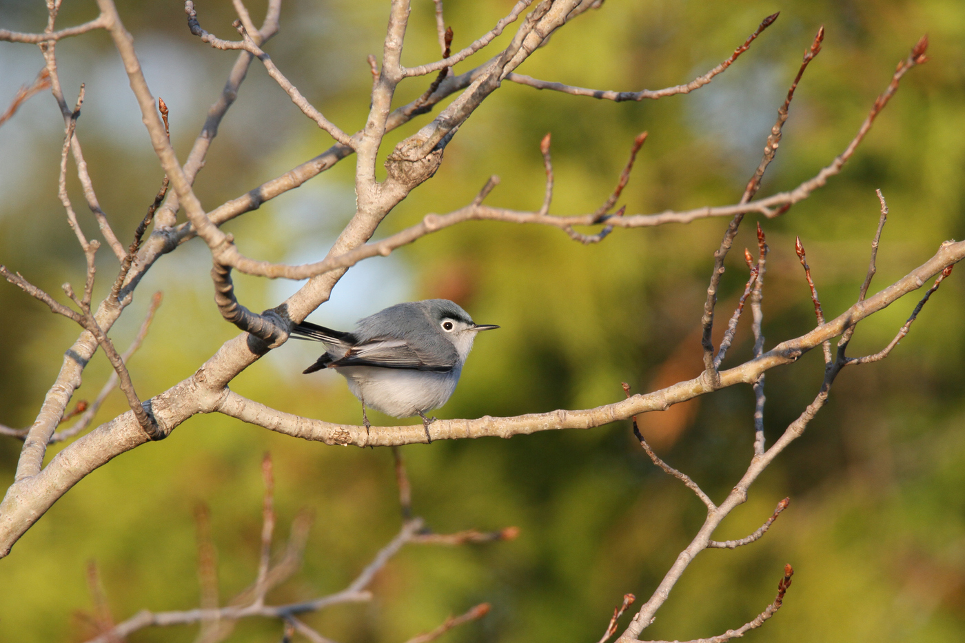 Gnatcatcher #9