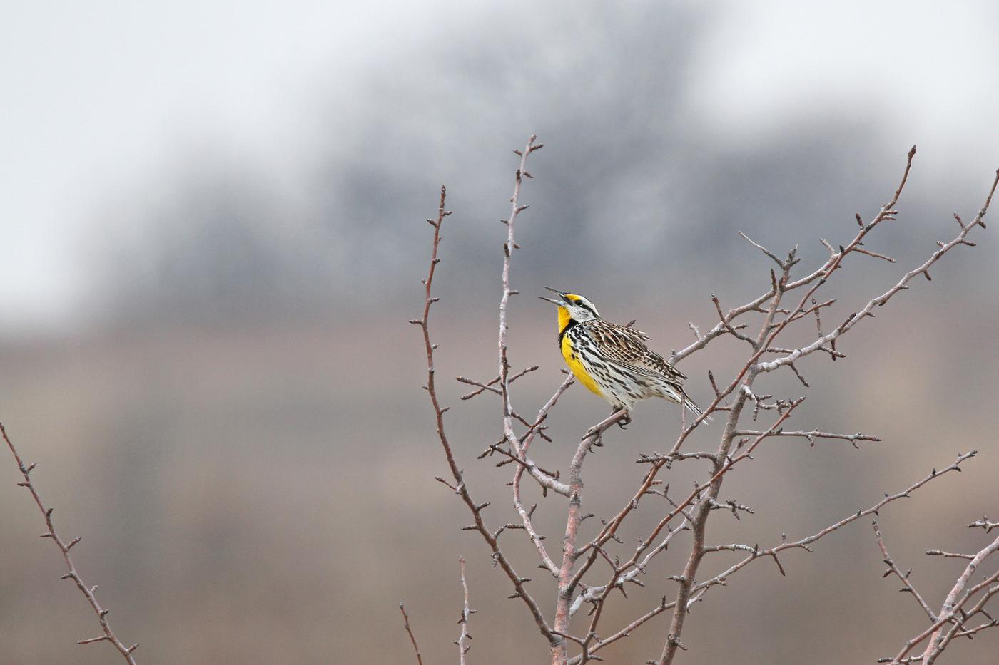 Eastern Meadowlark #23