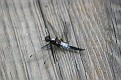 Chalk-Fronted Corporal - Male