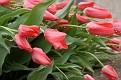 Rain Dropped Tulip Series