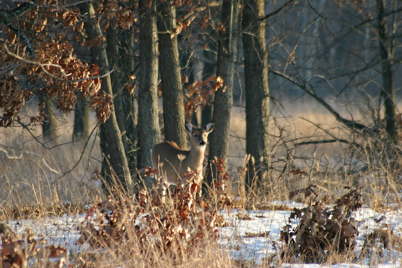 Winter Afternoon White Tailed Deer 2