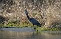 Mature Great Blue Heron