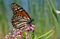 Monarch on Milkweed Flowers