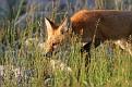 June Red Fox Series #21