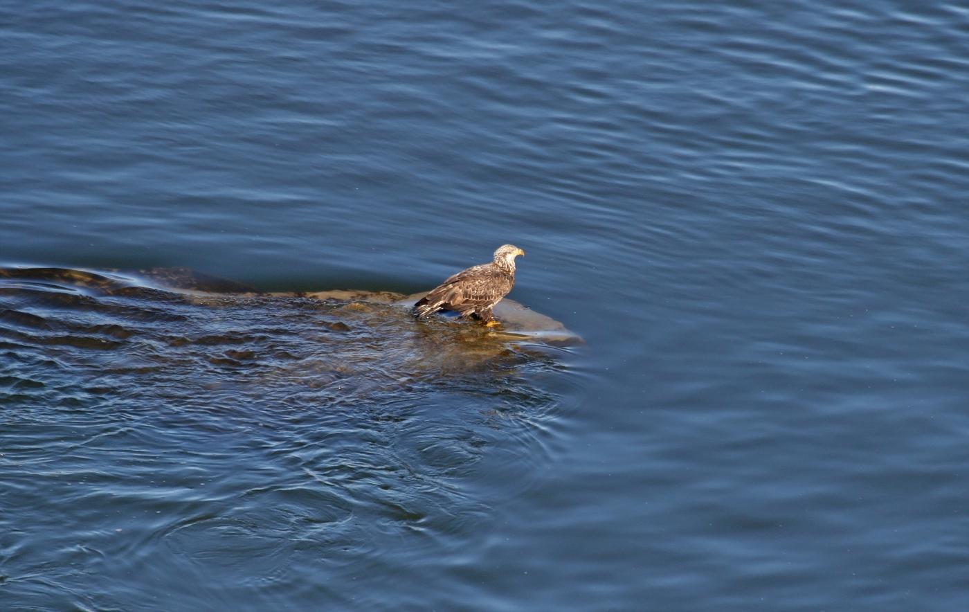 Juvenile Bald Eagle on the Rocks