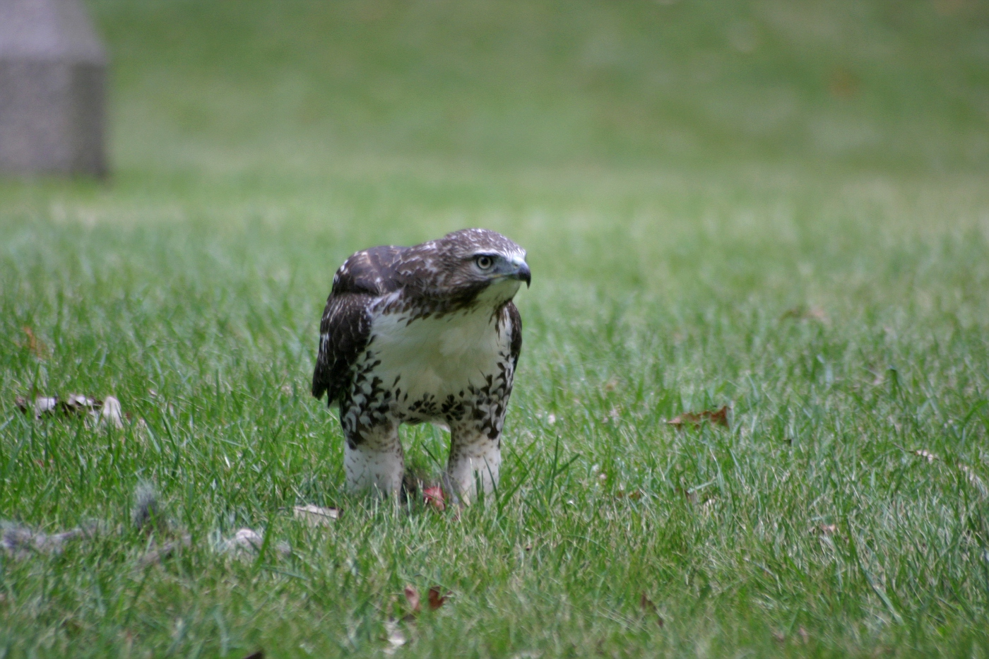 Immature Red Tailed Hawk 4